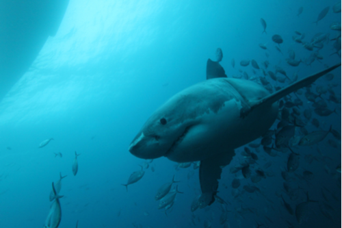 Shark Catcher Gets Death Threat — Animal Activist Watch